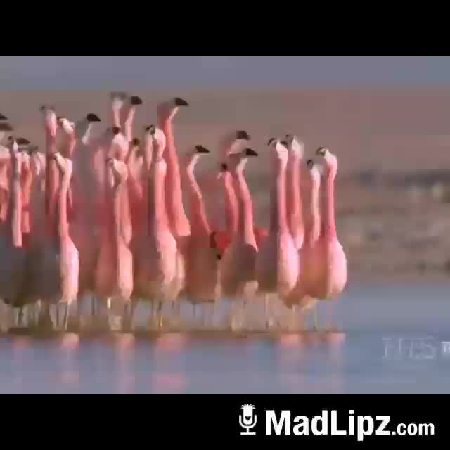 Raduno facciabuco fenicotteri rosa